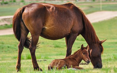 How To Know If Your Mare Is Pregnant